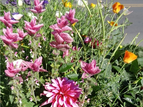 pink Salvia viridis and pink dahlia, Allan's photo