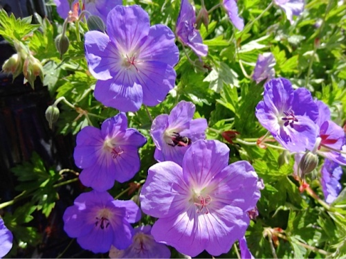 Geranium 'Rozanne', Allan's photo. Our planters are hugely attractive to bees.
