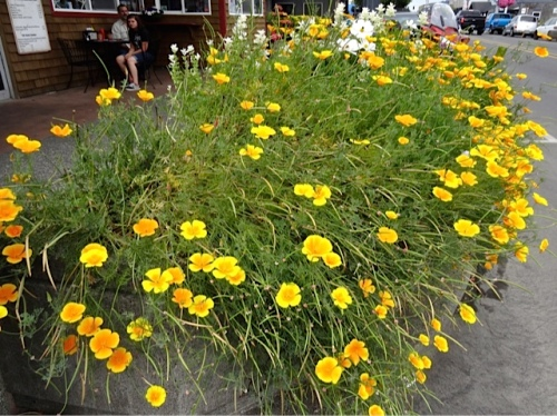 Allan's photo: Hungry Harbor planter (perhaps too many reseeded California poppies