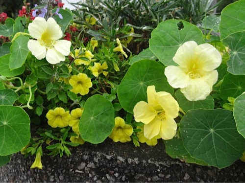 admired some good nasturtiums in a planter...