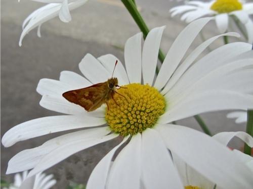 He saw a moth on a daisy...