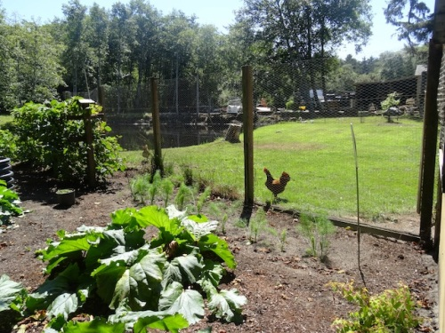 Allan's photo: The north side of the chicken run and the first part of the eastward garden extension.