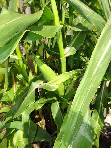 corn ready to harvest (Allan's photo)
