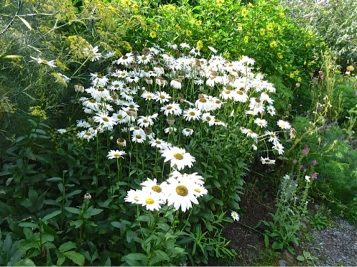 deadheading shasta daisies, before (Allan's photos)