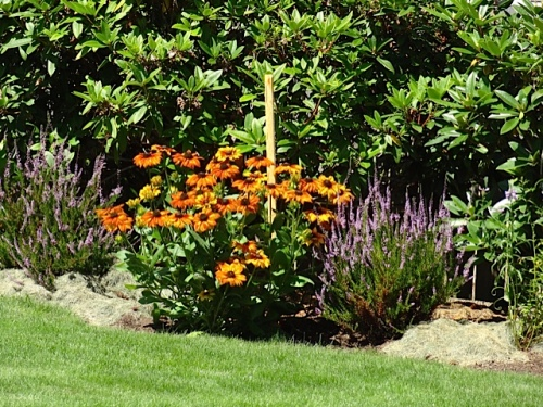 looks like Echibeckia (Allan's photo), mulched with grass clippings