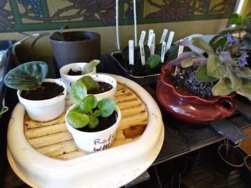 resident Anna's plants (Allan's photo)