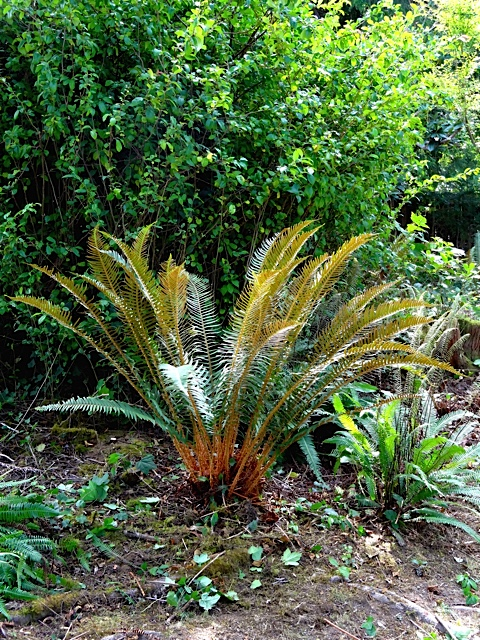 beautifully pruned sword fern (Allan's photo)