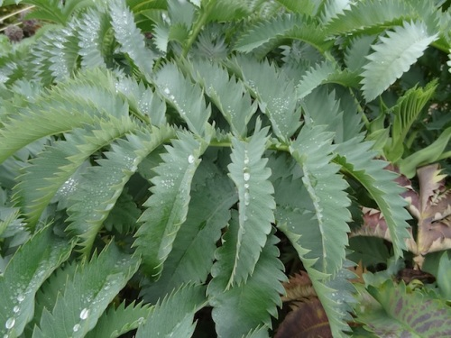 Melianthus major by the front fence shows evidence of some moisture.