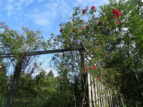 entry, with climbing roses