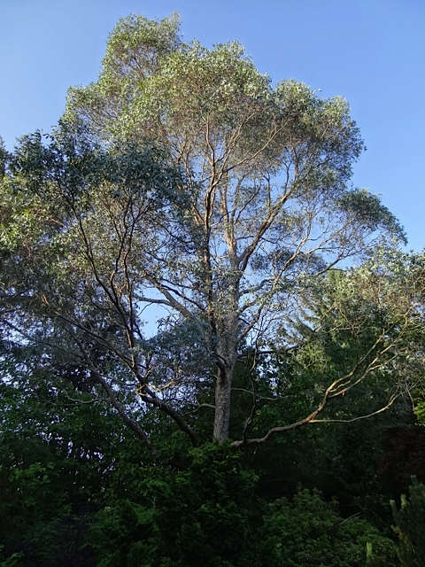 a huge eucalyptus