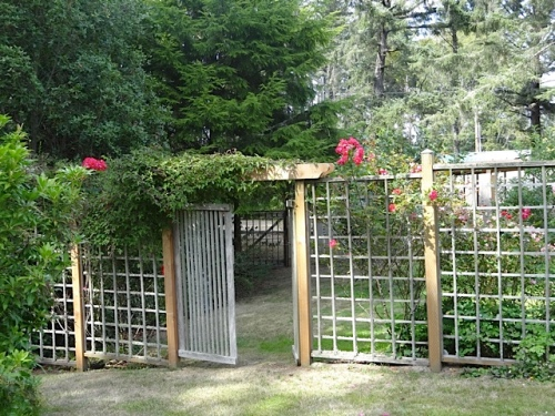 roses behind the deer fence