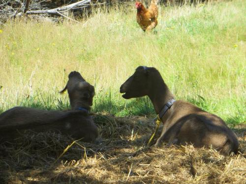 In the fenced field, grown up goats rest in the shade.