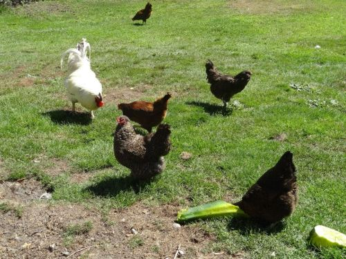 The flock has a large field and a spacious chicken coop.