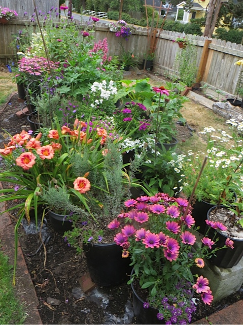 Sue's flower garden, staged in containers.  Later there will be sunflowers along the fence.
