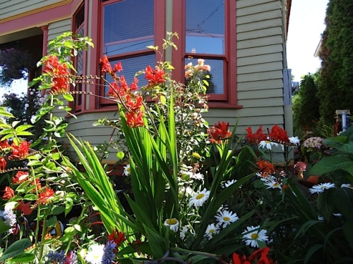 looking up at the front garden with Crocosmia 'Lucifer'