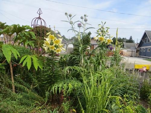 front garden with Tetrapanax, lilies, cardoon