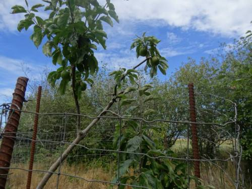 lower level: another fenced area with fruit trees