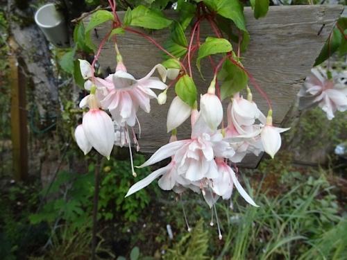 Fuchsia 'Pink Marshmallow'