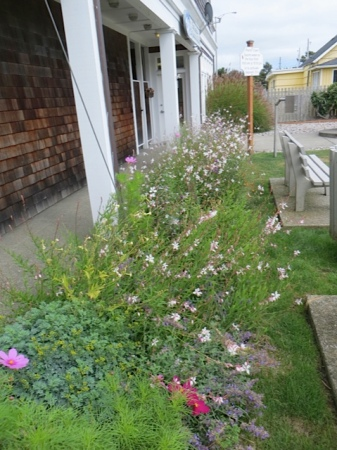 Gaura 'Whirling Butterflies' in Fifth Street Park