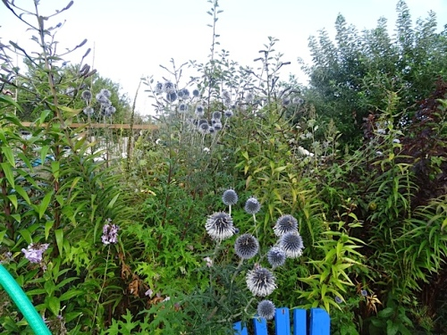 Echinops (globe thistle) in the back garden