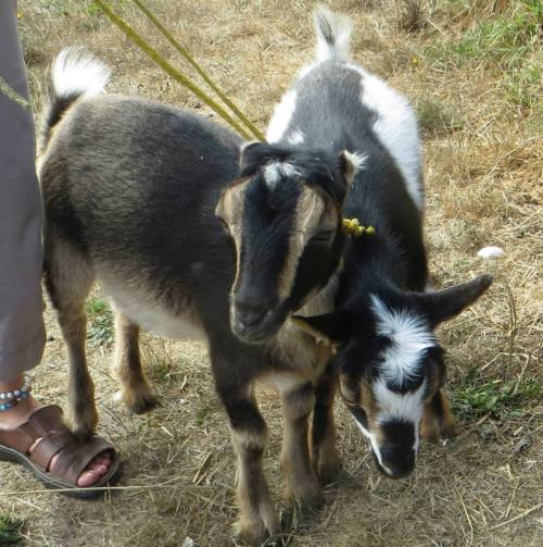 goats5