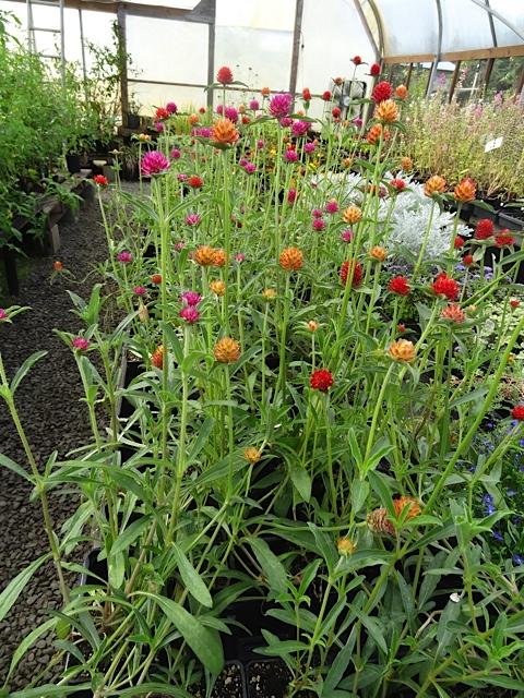 at The Planter Box, some gorgeous gomphrena