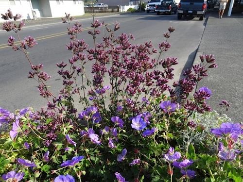 Oregano 'Hopley's Purple' and Geranium 'Rozanne' in the same planter