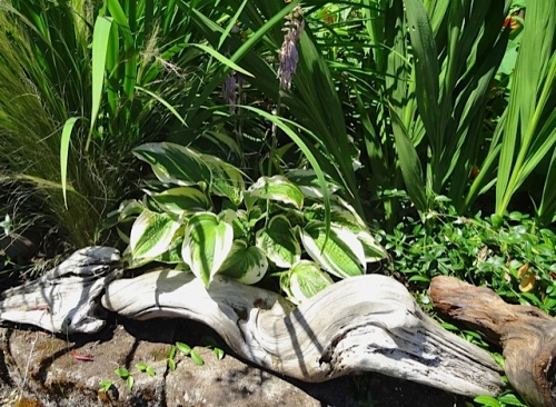 hosta tucked into driftwood