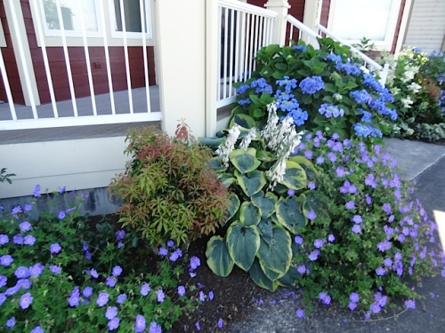 hosta, hydrangea, Geranium 'Rozanne'