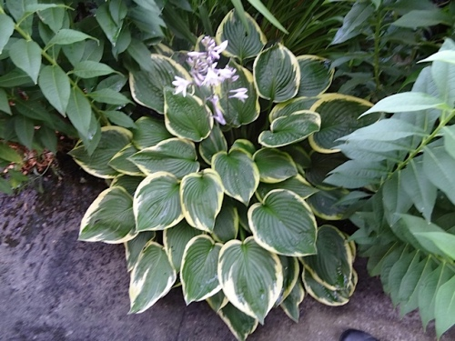 a shady spot with hostas