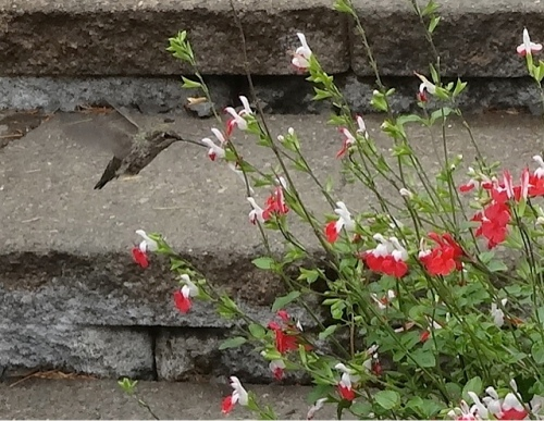 a hummingbird at the Salvia 'Hot Lips'