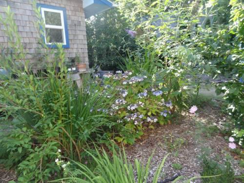 hydrangea and buddleia