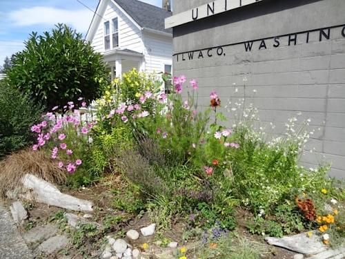 Ilwaco post office garden got some weeding and deadheading.
