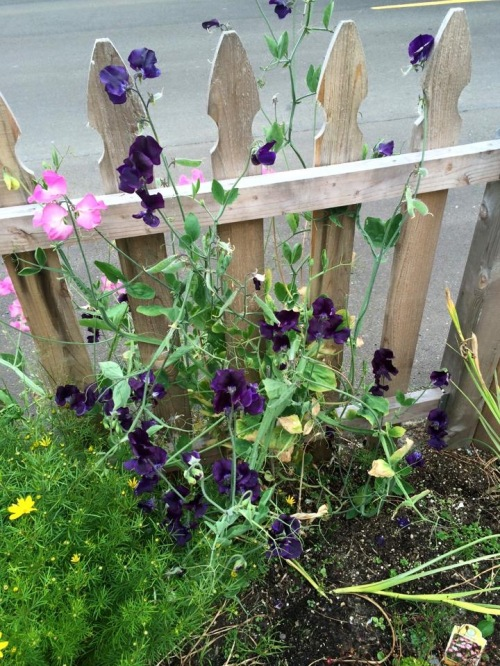I am so impressed with the new streetside fence and sweet peas.