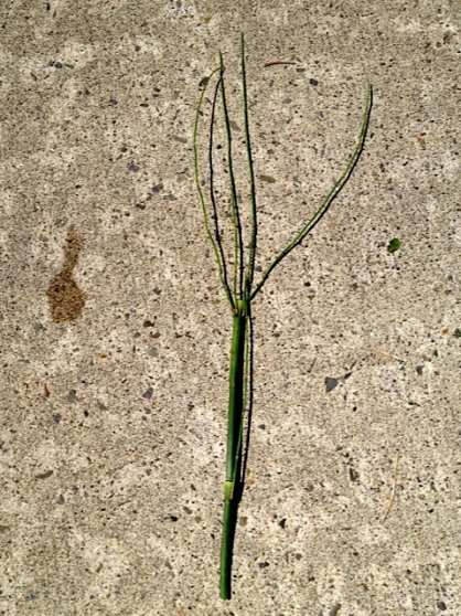 lots of tall maddening horsetail infesting that quadrant (Allan's photo)