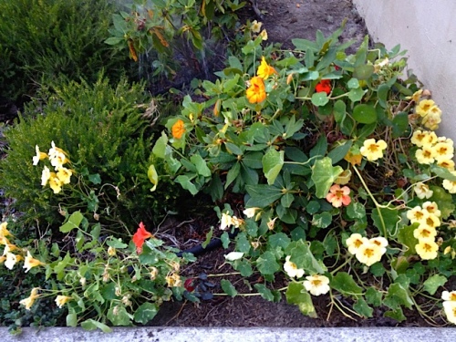 nasturtiums reseeded from when planters used to be by the library
