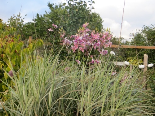 Miscanthus and lilies