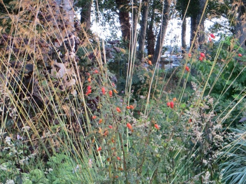 hips of Rosa moyesii with Stipa gigantea