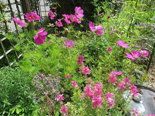 Cosmos and Salvia viridis