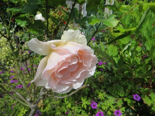 Mary's pale pink rose