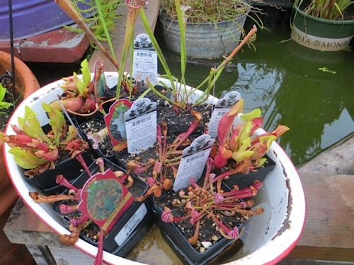 pitcher plants from Debbie Teashon