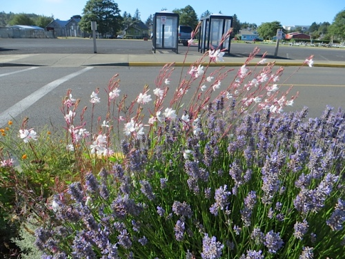 Lavender and Gaura 'Whirling Butterflies, port office curbside