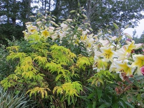 lilies and Sambucus 'Sutherland Gold'