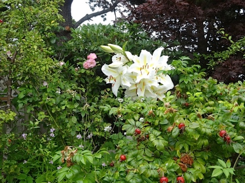 lily and rugosa rose