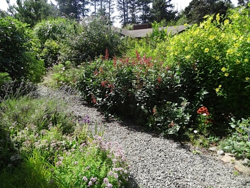 At Marilyn's, I trimmed back along the path again, as the Phygelius were moving forward.