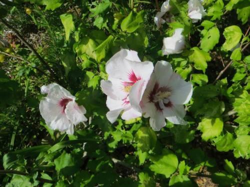 Malva (mallow) flower
