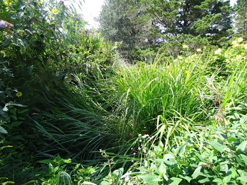 The north winds have knocked down some of the miscanthus.