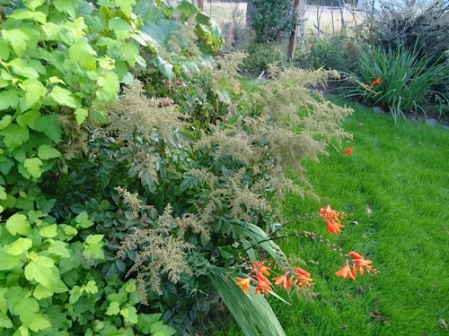 How the heck did orange montbretia get in there?