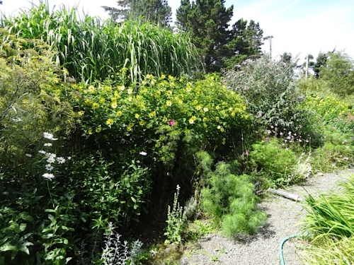 giant miscanthus and Helianthus 'Lemon Queen' from the back porch