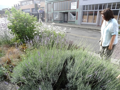 Nancy admires the lavender. Pam said she finds clumps of lavender missing where people picked bouquets, and of course she notices.